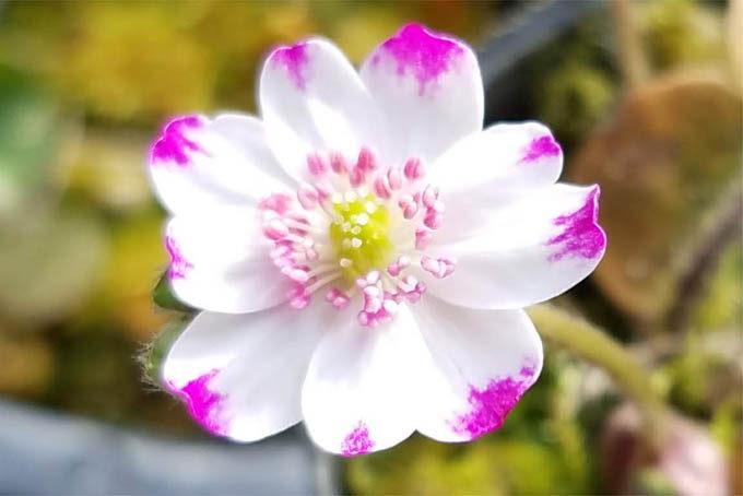雪割草 標準花 爪紅