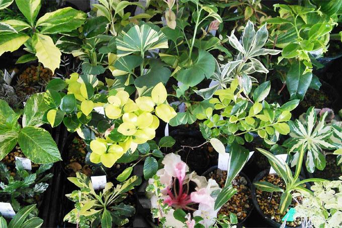 さまざまな斑入り植物がならぶ予定です。