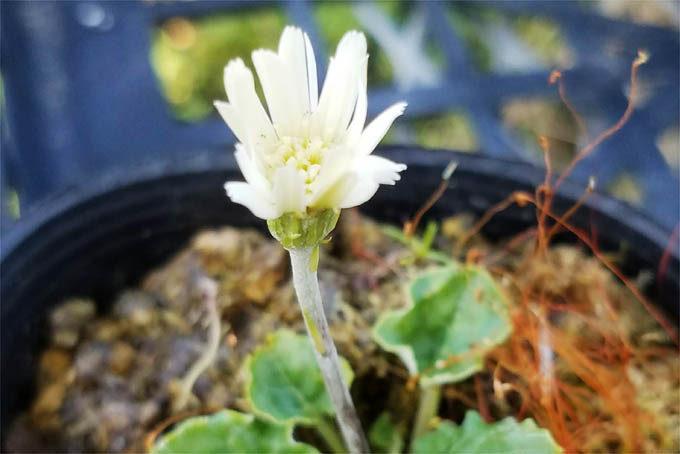 白花のセンボンヤリ。なぜか調子が悪く、全滅しかけています。
