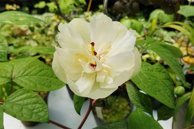 ヤマシャクヤクの斑入八重咲となる二芸品。斑は地味目ですが、かなりいい花です。