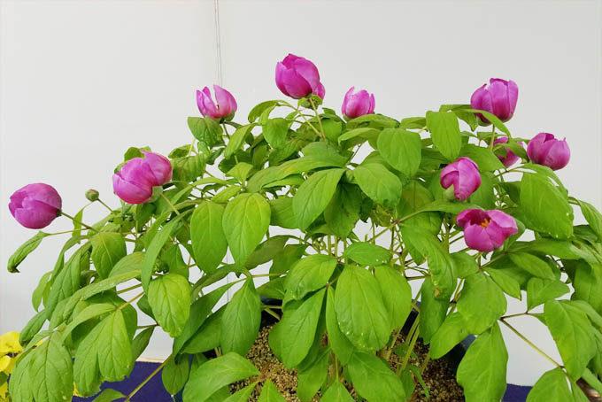 日草展の展示品、赤花のヤマシャクヤクの株立。八ヶ岳でも即売品がでるはずです。