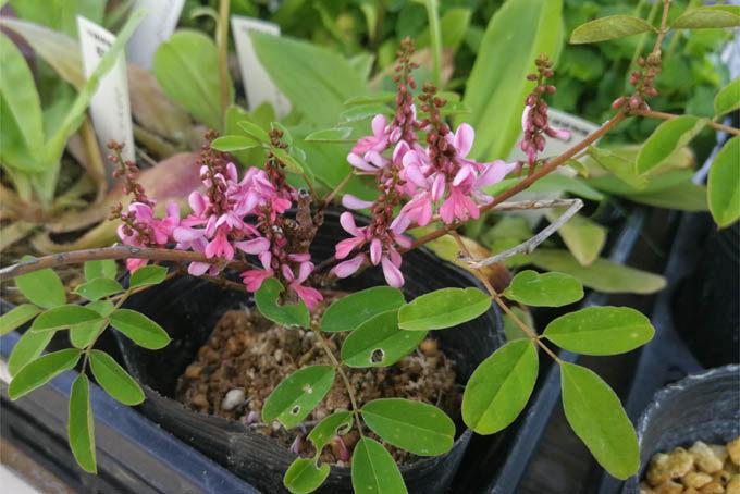 あまり見かけないニワフジ。普通の濃いピンクでもない、四季咲のピンクでもない独特な色できれいです。アンブリアンサ。