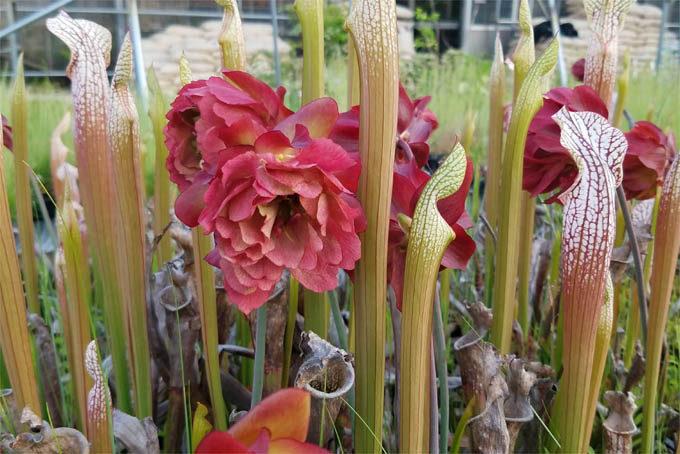 サラセニアの八重咲。これもかなり昔に手に入れたもので、品種名がわかりません。