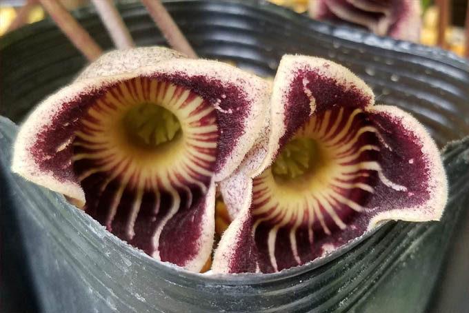 ポットからはみ出しそうなカンアオイ、スペシオーサ。アメリカ産のものとしては有名な品種です。花もきれいです。