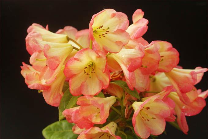 外国の交配シャクナゲ、リング・オブ・ファイアー。意外とケバケバし過ぎず、きれいな花でした。