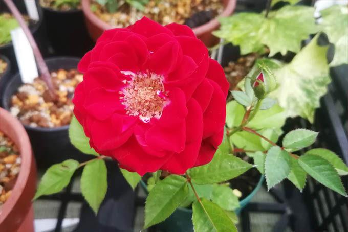 バラ。名もないバラですが、きれいです。名前あるのかもしれませんがわかりません。