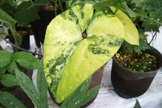 カンアオイの派手な斑。カンアオイも根強い人気のある植物です。