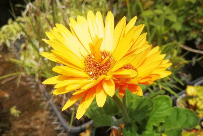 口直しに、きれいな花。これはガーベラと呼ばれる、とてもきれいな園芸植物です。