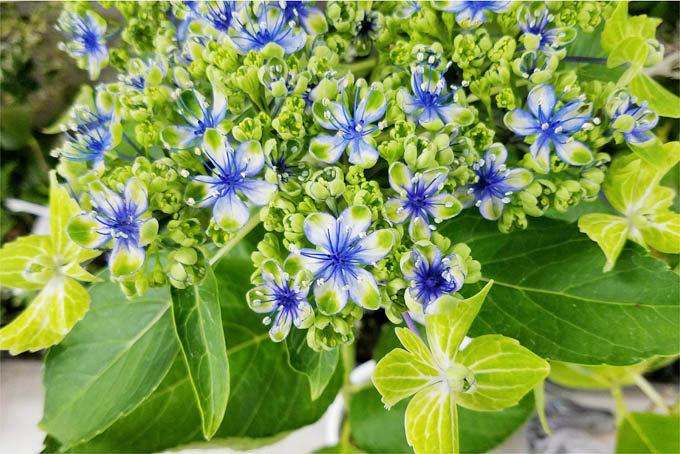 アジサイの大島緑花。健全な緑花です。これはかなりきれいな品種ですね。入手しそびれました。