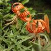 ユリ31種をゆるく栽培難易度順に紹介。