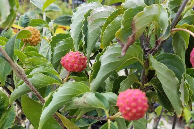 ヤマボウシの花付の良いタイプ。実付もよく、いくつも実がついていました。