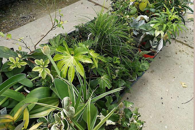 ボロ市に持っていく植物の一部です。斑入などもあります。