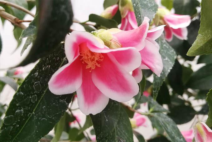 椿の湊晨侘介。よく伸びる木なので、大きくなると見ごたえがあります。やや早咲きのようできれいに咲いていました。