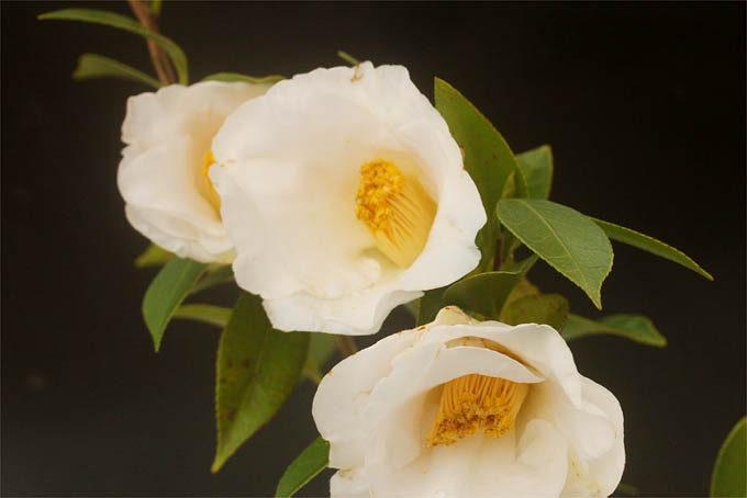 椿 初嵐。たっぷりした花型できれいな品種。
