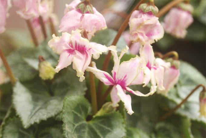 ガーデンシクラメンですが、八重咲でフリル咲になる二芸品。珍しいかも。