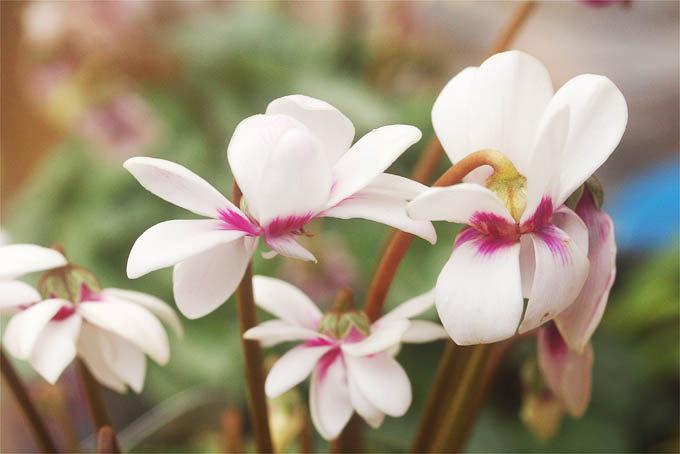 こちらも八重咲のガーデンシクラメン。花色が白。これもやや珍しいかもしれない。
