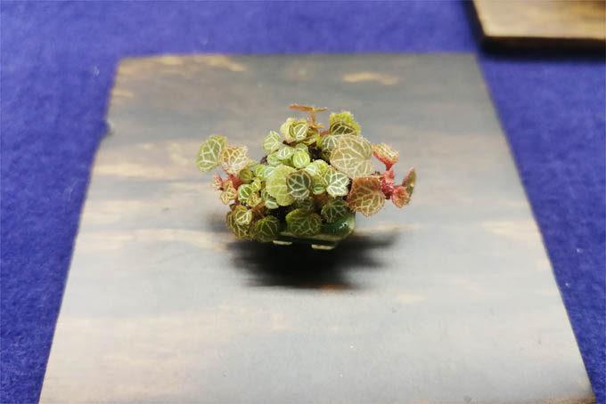 展示2-3。2-2をさらに拡大。屋久島ユキノシタを2cmくらいの鉢で作り込んだものです。