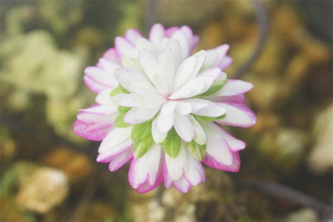 今年の初花、上品できれいな千重咲。かなり好きなタイプです。