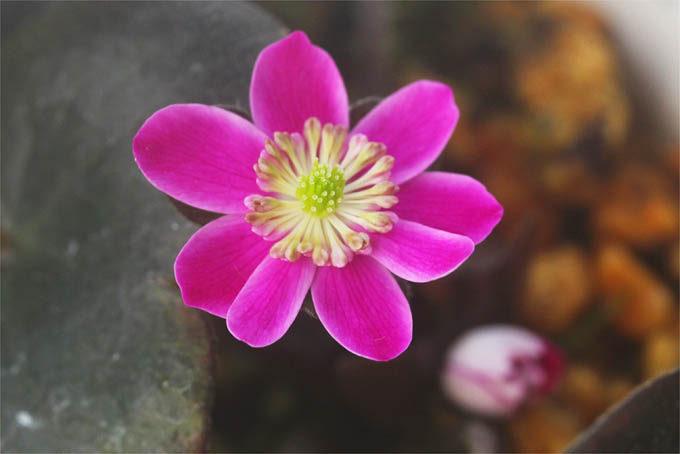 いわゆる旭タイプの二段咲。たいへん貴重なものです。