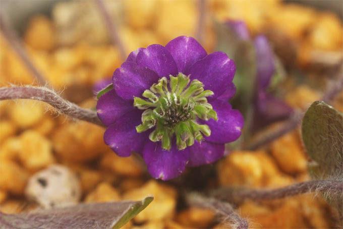 堂々とした三段咲で、よくなりそう。この写真撮ったときは寸詰まり気味ですがいまは花茎が伸びてきています。