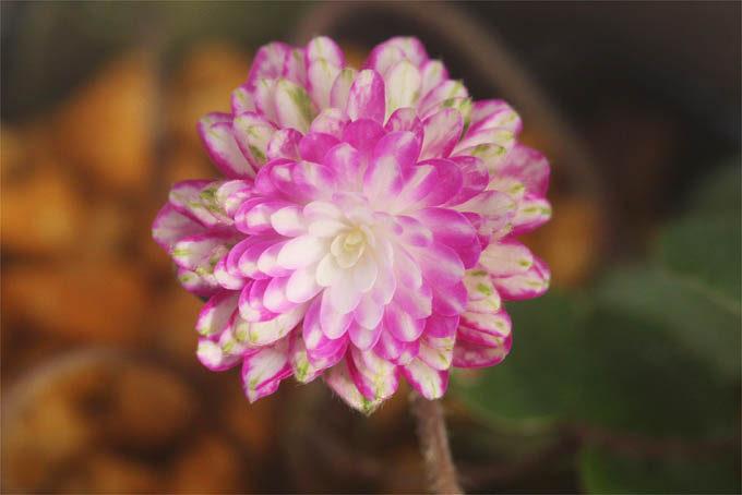 これも初花、華やかな千重咲。人気がでそうな感じ。