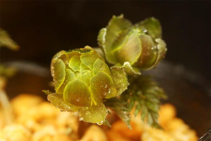 九州産のフクジュソウ。宮崎に分布するシコクフクジュソウ?花弁の裏の色合いが独特で面白い。