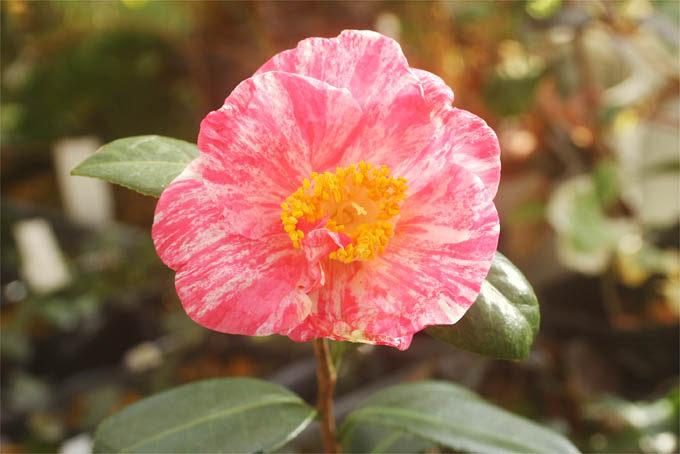 古典椿の錦秋。安定した絞り花で、よく開くきれいなタイプです。