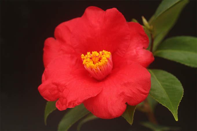 これも有名な椿、ことじ。金沢の兼六園に原木があることで有名です。大輪で濃色の美しい花です。