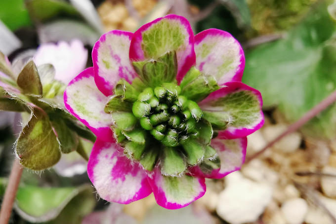赤と緑の三段咲。外弁の玉斑がクッキリ入ってとてもきれいです。