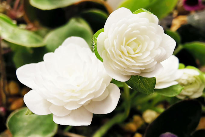 素心の千重咲。シンプルなタイプなので、花型の良さがそのまま評価につながります。