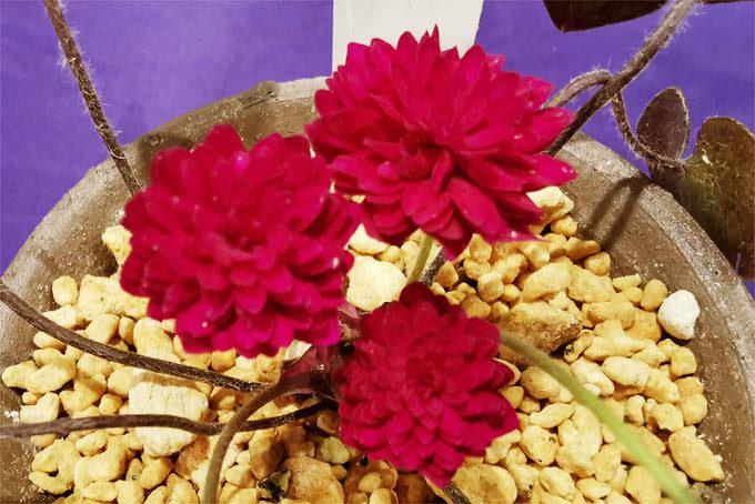 県の花大会の展示品。個人的に気に入った花。青軸で濃赤の千重咲です。