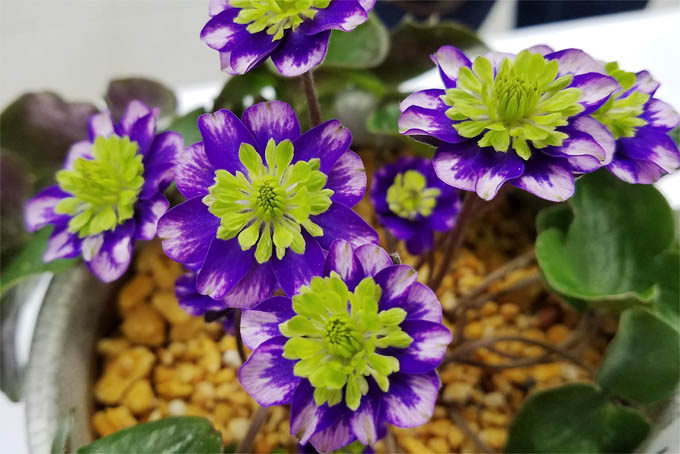 最高賞に輝いた三段咲。初花のときから見ていますがすばらしい。