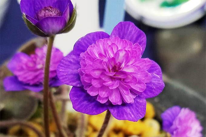独特な色合いの千重咲。また花型も変わっていて面白いです。