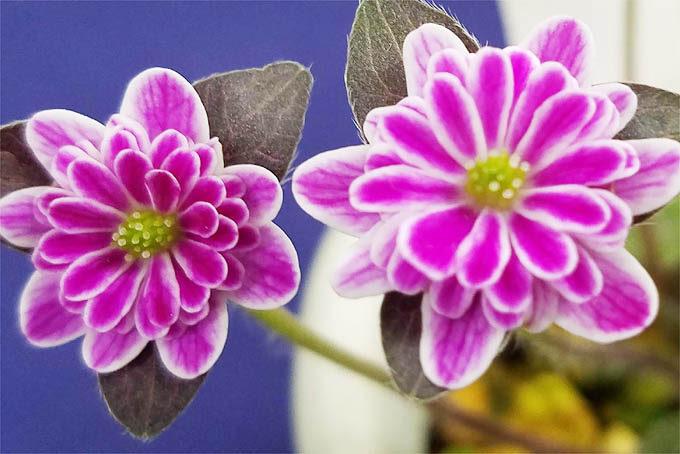 網目覆輪。これも特徴のある花で、良いタイプです。