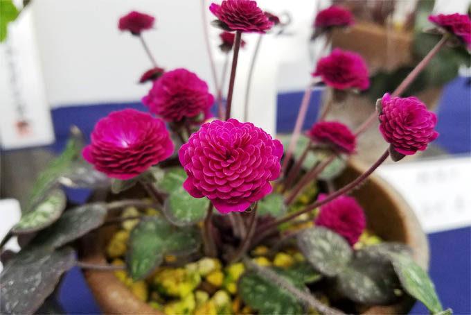 濃赤の千重咲。すこし小ぶりですが目立つ花です。