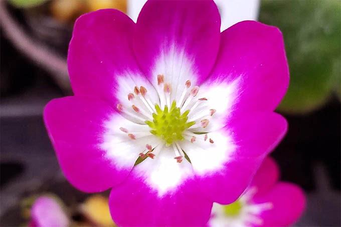 正統派の優秀な標準花。スダレ系でもなく、こういう花はなかなかありません。