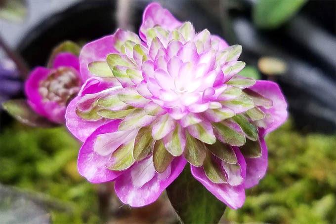 人気ありそうなタイプの花です。