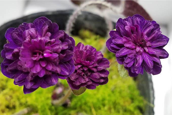 スダレ系の濃色花。やっぱり目立ちます。