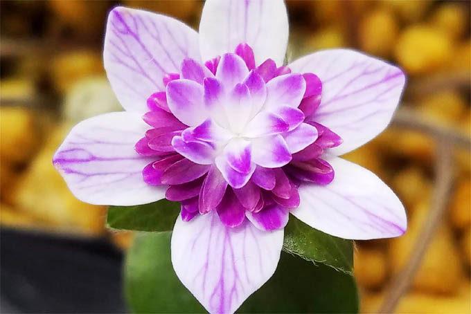 紬タイプのなかでは相当レベル高い花だと思います。