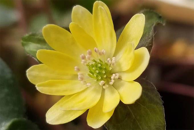 ミスミソウの黄花。こんなふうにきれいに発色させてみたいものです。