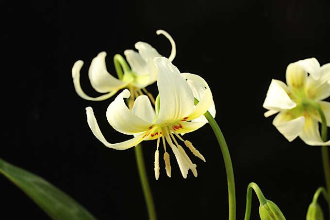 ホワイトビューティーという品種。クリーム色で多花性。比較的作りやすい。