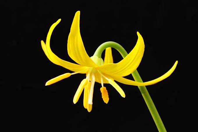 トルムネンセという品種。パゴタよりも鮮やかな黄色。パゴタより少し弱い印象。