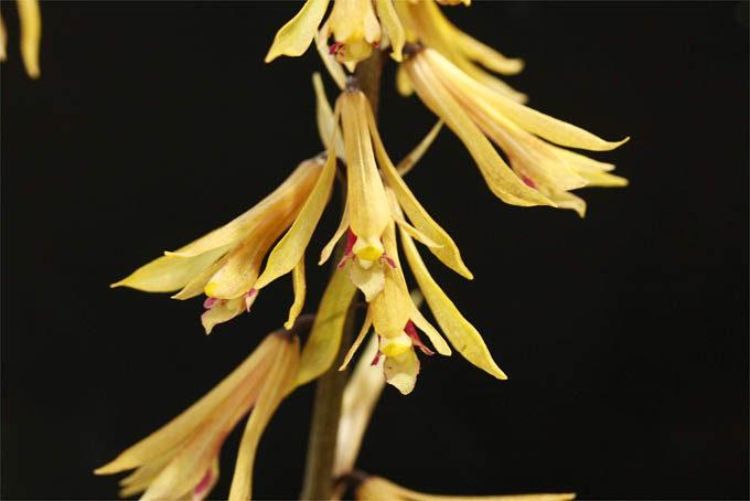 サイハイラン。采配に似てるのかどうか、よくわかりません。花は黄色っぽいのから赤紫っぽいのまでいろいろです。