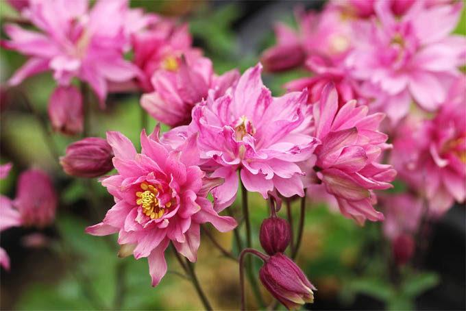 テッセンオダマキと呼ばれている、クレメンタインシリーズです。バローと違い上向きに花が咲きます。