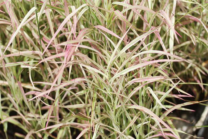 ちょっと早いですがススキなどもでてくる季節になってきました。これは十和田アシ、斑入の品種です。