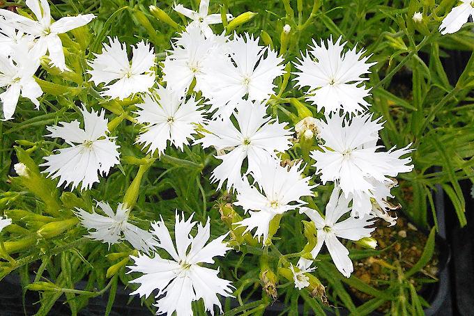 白花オグラセンノウ