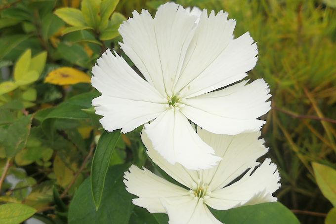 白花ガンピ