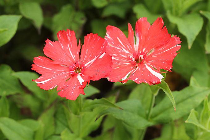 赤絞り咲松本センノウ