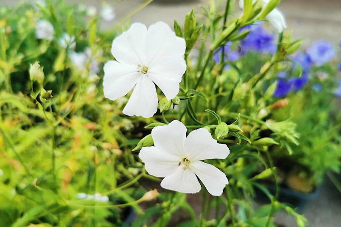 白花フシグロセンノウ