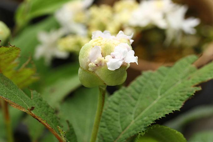 タマアジサイ 玉段花 つぼみ